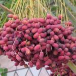 Des dates fraîches, en préparation d'Aïd el-Fitr